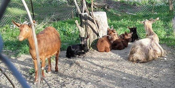 Πωλούνται κατσίκες